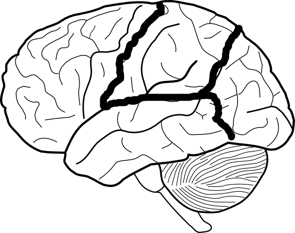 Brain skech with lobes outlined clip art vector clip art