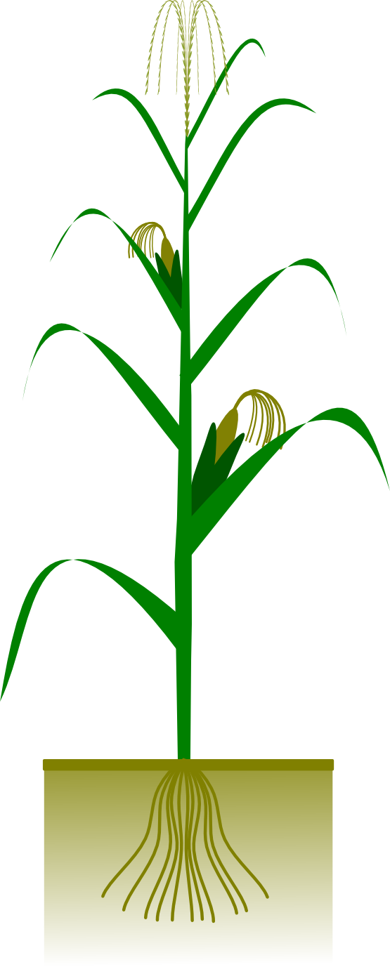 Corn on the cob clipart