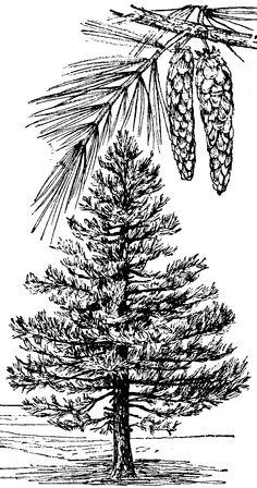 Pine tree clip art pine cones illustration free stock 2