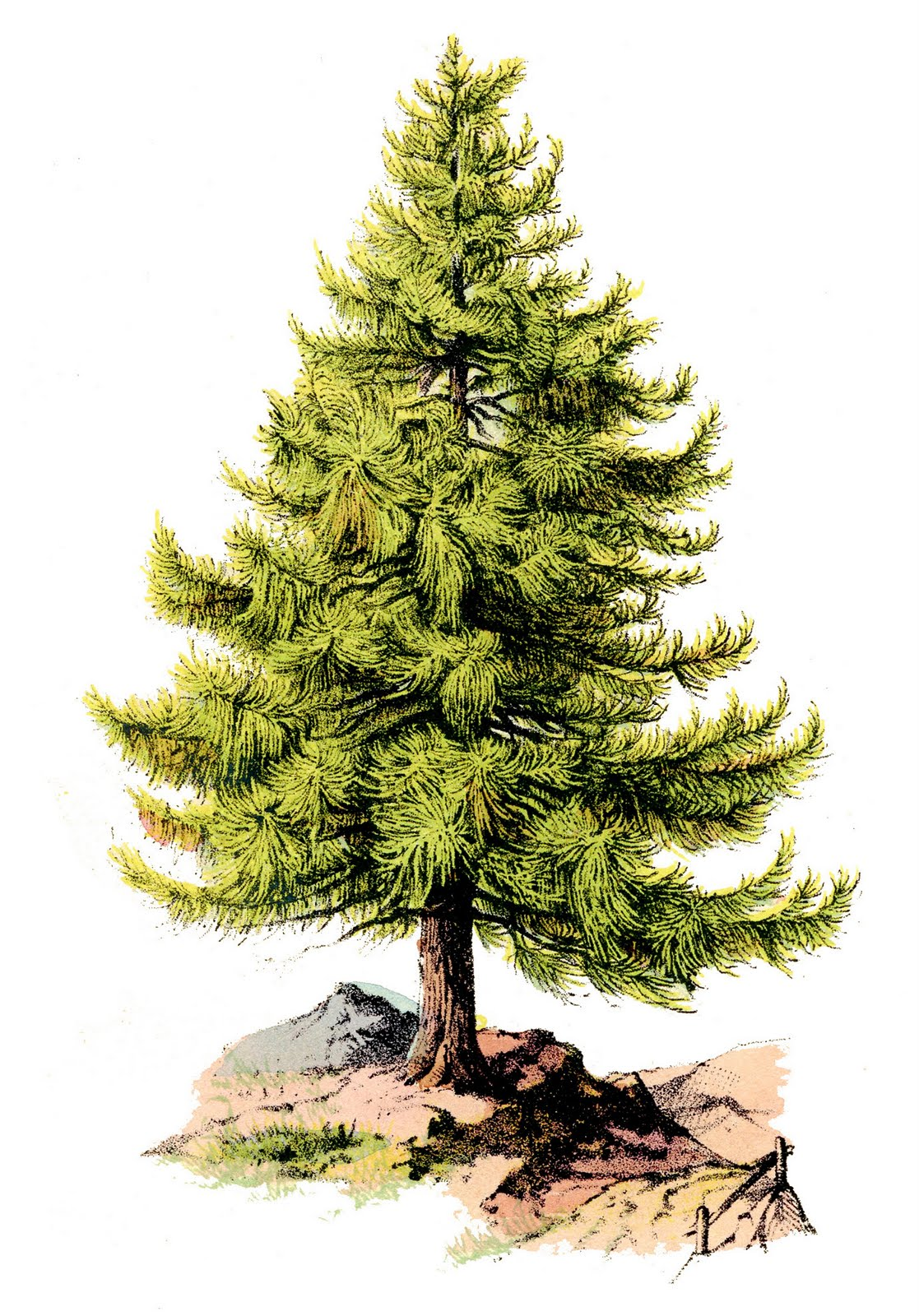 Vintage clip art perfect pine tree the graphics fairy