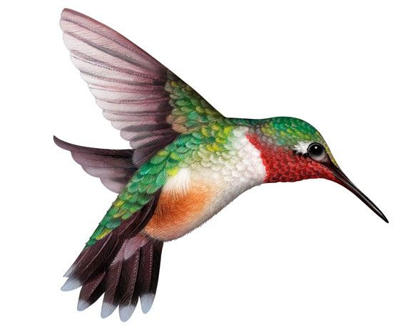 Hummingbird realistic illustrations of animals plants and flowers in by cliparts