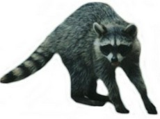 Realistic raccoon clip art free photos