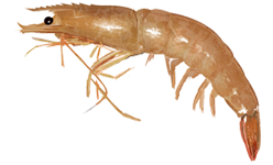 Shrimp clip art download 2
