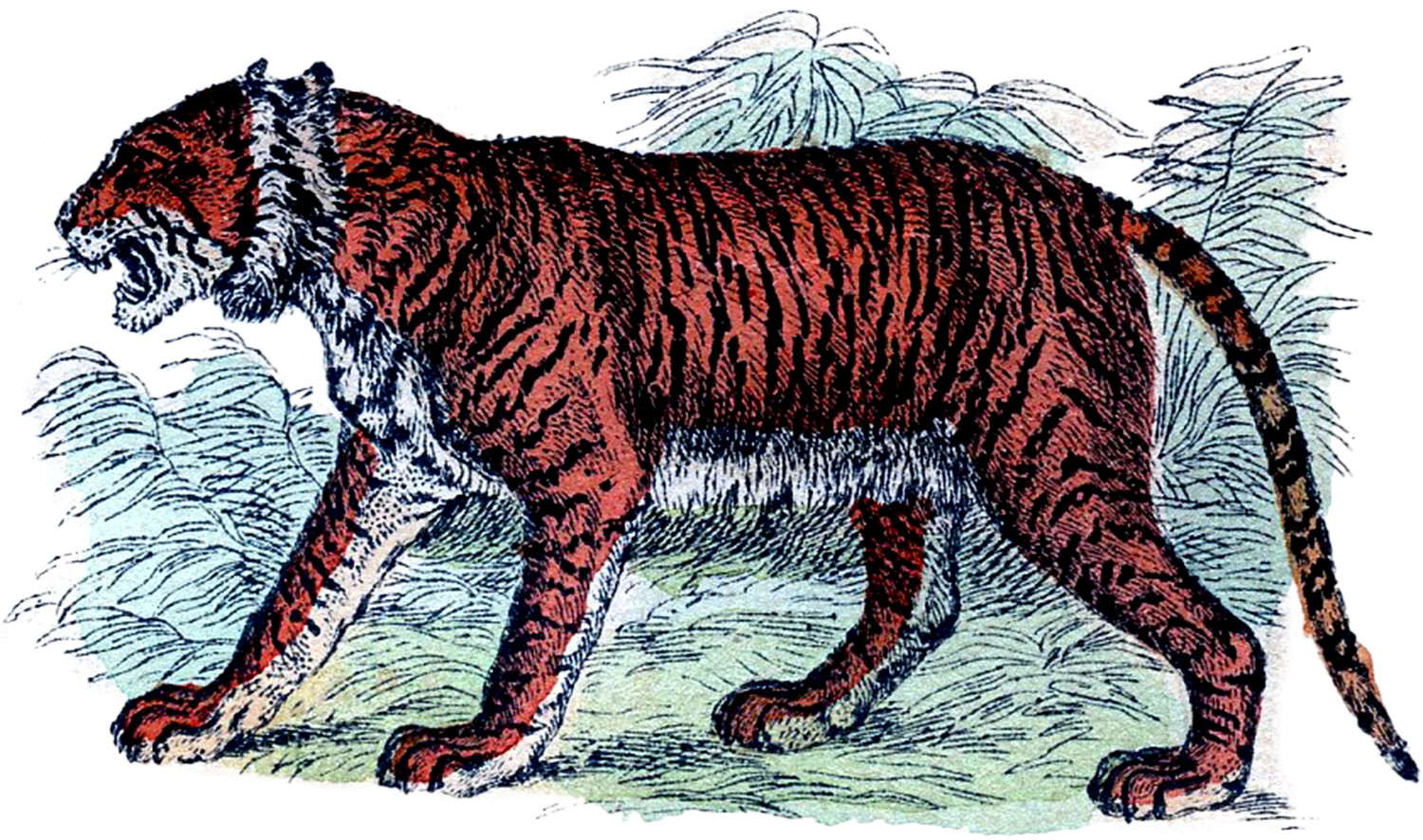 Free vintage tiger clip art the graphics fairy